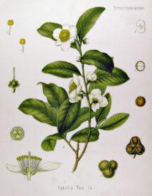 Teaplant